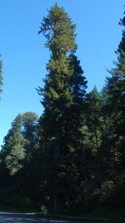130514_enormous_pines