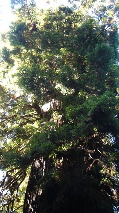 130520_redwood_tree_limbs
