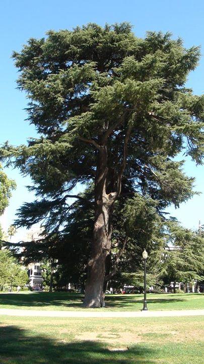 130716_pine_tree