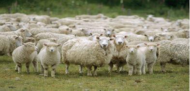 130803_sheep
