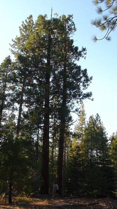 130813_yosemite_pine