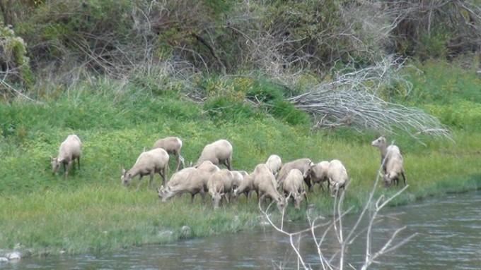 150118_wild_goats
